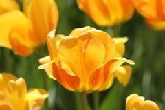 померанцовый желтый цвет тюльпанов Стоковая Фотография RF