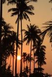 Пальмы на заходе солнца Стоковое Фото