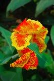 Померанцовый и желтый цветок Canna Стоковая Фотография