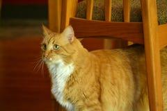 Померанцовый кот Стоковые Изображения RF