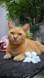 Померанцовый кот Стоковое Изображение