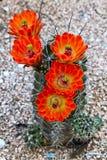 Ярк зацветая кактус Стоковые Фото
