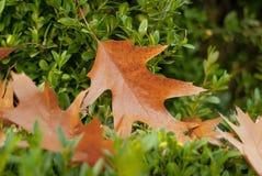 Померанцовый кленовый лист Стоковое фото RF