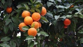 Померанцовый плодоовощ сток-видео