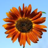 померанцовый солнцецвет Стоковое Изображение RF
