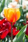 померанцовый тюльпан Стоковые Фотографии RF