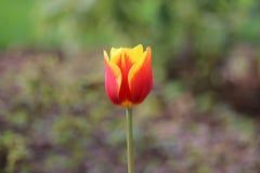 померанцовый тюльпан Стоковые Фото