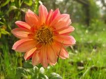 Померанцовый цветок в саде Стоковые Фотографии RF