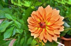 Померанцовый цветок георгина Стоковое фото RF