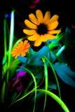 Померанцовый цветок лета Стоковая Фотография RF
