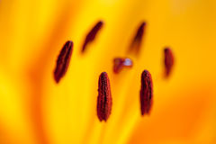 Померанцовый цветок лилии Стоковая Фотография RF