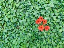 Померанцовый цветок на лужайке зеленой травы Стоковая Фотография RF