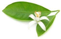 Померанцовый цветок с зелеными листьями Стоковые Изображения