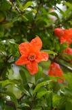 Померанцовый цветок Стоковая Фотография