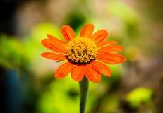 Померанцовый цветок Стоковые Фото