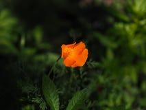 Померанцовый цветок стоковое изображение rf