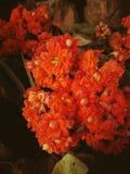Померанцовый цветок Стоковые Изображения RF