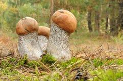 Померанцовый Bolete березы (versipelle Leccinum) Стоковые Фото