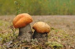Померанцовый Bolete березы (versipelle Leccinum) Стоковая Фотография RF