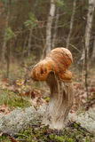 Померанцовый Bolete березы (versipelle Leccinum) Стоковые Изображения
