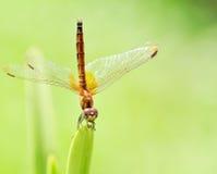 Померанцовый Dragonfly стоковое изображение rf