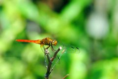 Померанцовый Dragonfly стоковая фотография rf