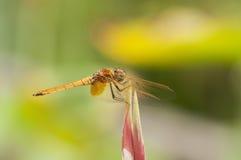Померанцовый Dragonfly Стоковое Фото