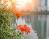 померанцовый zinnia Стоковое Фото