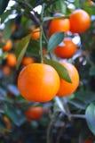 померанцы китайского мандарина Стоковые Фото