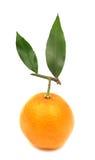 Померанцы мандарина Clementines совершенные Стоковое фото RF