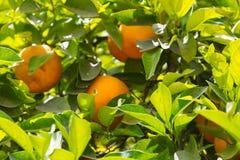 Померанцы на дереве Стоковое Изображение RF