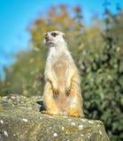 Поместье Meerkat сидит в расчистке на зоопарке и ярких голубом небе и деревьях как расплывчатое bokeh Стоковые Изображения RF