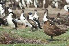 Поморниковый Falkland Стоковые Фото
