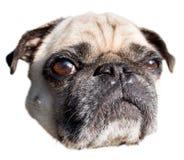 Помоченная собака мопса стоковые фотографии rf