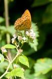 помытый серебр fritillary бабочки Стоковые Изображения RF