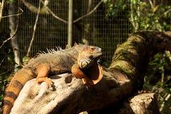 понижается iguazu игуаны Стоковые Фотографии RF