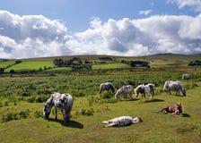 пониы dartmoor стоковое изображение rf