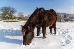 Пони выкапывая в снежке для еды Стоковое Изображение