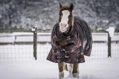 Пони в шторме снега с половиком лошади Стоковое Изображение