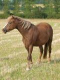 Пони в Paddock Стоковые Фото