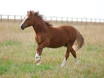 Пони в Paddock Стоковая Фотография