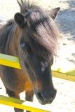 Пони в paddock Стоковая Фотография RF