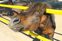 Пони в paddock Стоковые Изображения