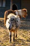 2 пони в paddock Стоковое Изображение