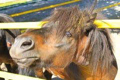 Пони в paddock Стоковое Изображение