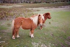 Пони в Padock Стоковое фото RF