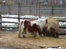 Пони есть сено стоковое фото