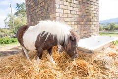 Пони есть сено стоковая фотография