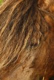 Пони жеребец & конематка Dartmoor стоковое изображение rf