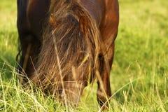 Пони жеребец & конематка Dartmoor стоковое фото